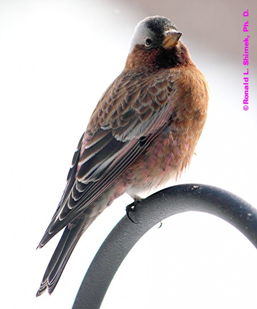 Grey Crowned Rosy Finch.