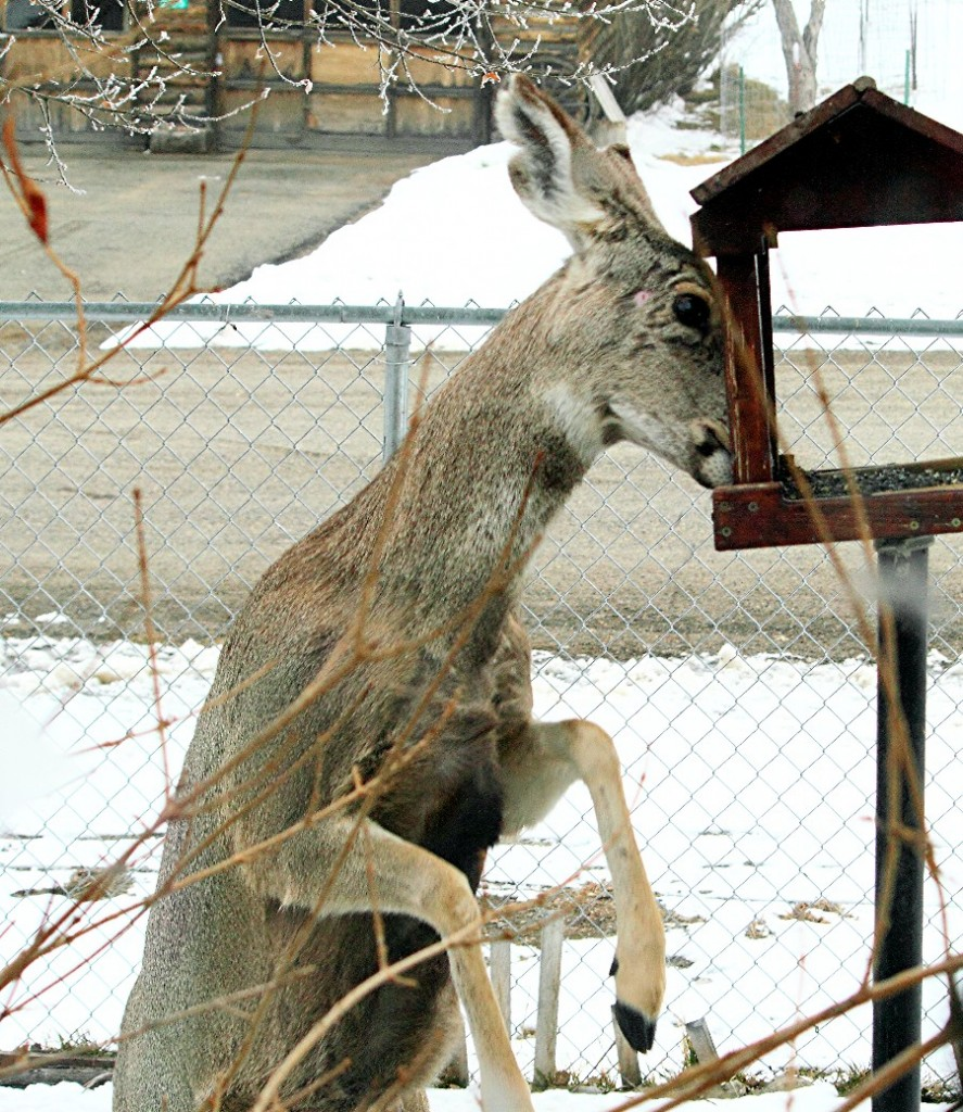 Taken in 2012, A Mule Deer Doe We Call Notch-Ear, Eating Sunflower Seeds From A Bird Feeder.