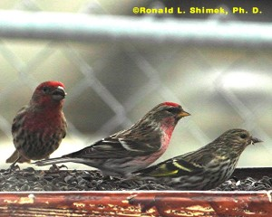 Three Spring Finches: Common Red Poll male (center) with a House Finch (male - left) and a Pine Siskin (male - right)