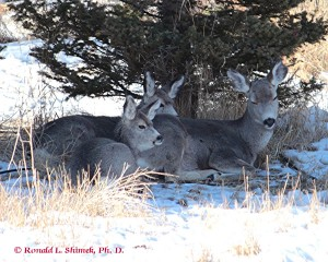 Mom and her two kids last year's fawns,, resting by evergreens in our back yard.